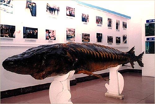 宜昌中华鲟园资料翔实 堪称地球生物演进活化石