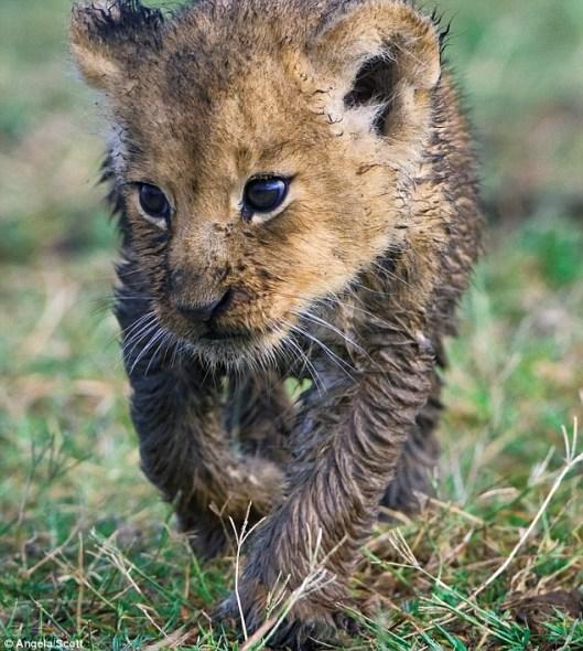英国夫妇常年追踪非洲大型野生动物