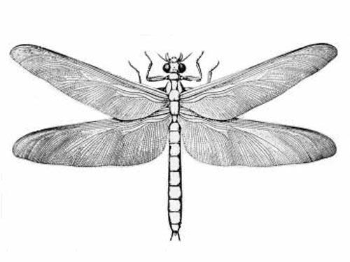 在300万年前的二叠纪早期,在今天的美国中西部沼泽地带上空盘旋有苍鹰一样大的巨型昆虫,翼展达到70厘米以上