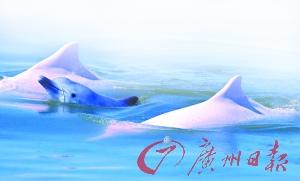 畅游在珠江口海域里的海豚。