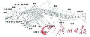 海豚的骨骼图解