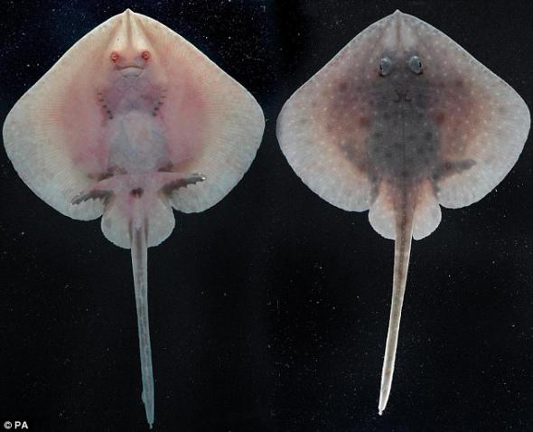 鳐鱼生长和繁殖速度均十分缓慢,极易受过度捕捞的伤害