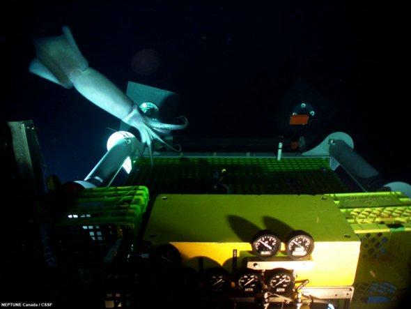 """天然监督者:好奇的海洋生物频繁光临,似乎在检查""""海王星""""网络的安装工作。图片中,一条鼠尾鱼正在监督位于海底2660米的ODP 1027节点上一个测震仪的安装进度。"""