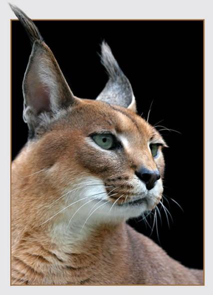 狞猫   狞猫是所有小型猫科动物中速度最快的一种.