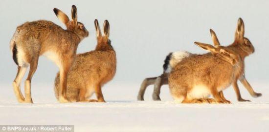 富勒表示大雪是大量野兔聚集在一起的一个重要原因,就像羊群和鱼群一样,它们用这种方式彼此保护对方。