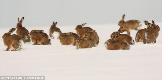 一次看到如此多的野兔出现在雪地上非常难得,富勒说镜头前一度出现51只野兔。