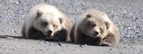 美国阿拉斯加州阿尔斯沃特港附近的克拉克湖国家公园,两只小棕熊正在海滩上玩闹打斗