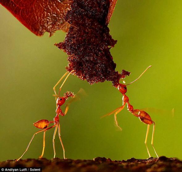"""红蚁在印度尼西亚被称为""""Rang-Rang"""",在它们的栖息地,每只红蚁都有其特定角色,或为工蚁,或为蚁后,分工明确。"""