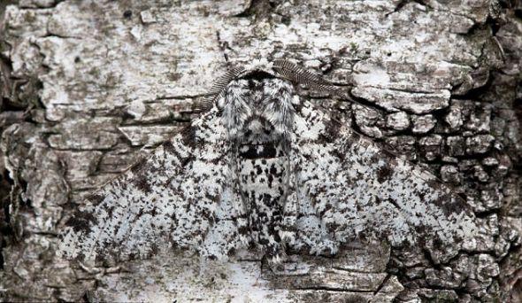 一只善于伪装的椒花蛾(peppered moth) 趴在德贝郡海德家后院的白桦树干上