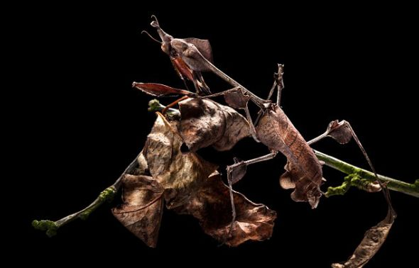 一只小提琴螳螂(Violin Mantis )趴在一堆枯叶中间,很好地伪装了自己