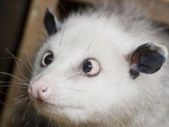 对眼负鼠海蒂是目前炙手可热的明星