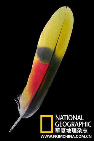 青绿顶亚马逊鹦鹉的尾羽