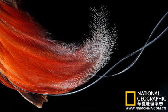 红天堂鸟侧腹羽毛,用于炫耀