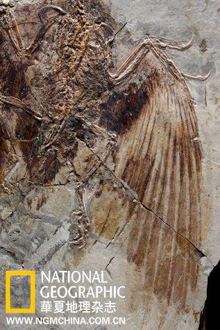 孔子鸟的翅膀传达出飞翔起源后走过的进化里程。