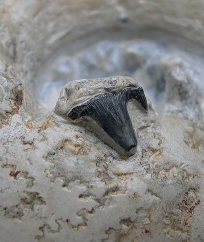 菊石壳化石上内嵌的弓鲨牙齿特写。