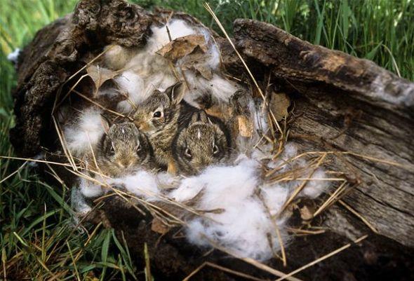 野兔妈妈:抛弃骨肉(图片来源:jack milchanowski, visuals unlimited)