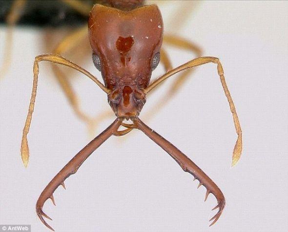 印度的trap-jaw蚂蚁的意思v蚂蚁下颌是动物界最快的.速度的苍蝇是什么翅膀图片