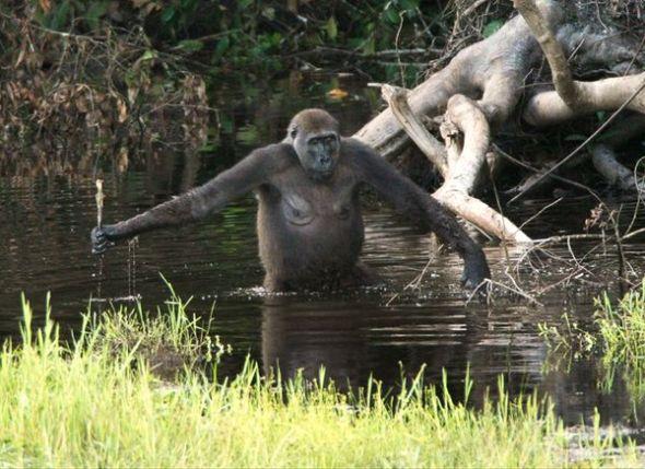 野生大猩猩懂得使用工具(图片来源:Breuer, Ndoundou-Hockemba, Fishlock et al, PLoS Biology)