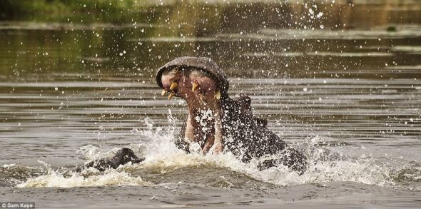 南非的一个湖泊,一只河马张开大嘴。在得知凯耶的真实年龄后,皇家摄影学会的评委大为吃惊