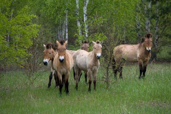 切尔诺贝利:部分野生动物正在恢复