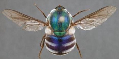 成年新种蜘蛛蝇体色鲜艳,犹如宝石,是重要的授粉昆虫。它们的幼虫寄居在蜘蛛体内