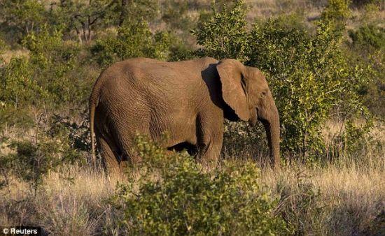 """成为攻击目标:在南非西北省匹兰斯堡国家公园,一头沐浴在黄昏日光中的大象在矮树间穿行。2011年,数百头大象被杀。国际自然保护联盟已将这些厚皮动物列入""""易受攻击""""动物名单。"""