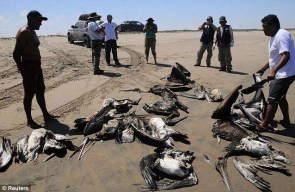 官员们表示绝大多数鹈鹕可能是最近几天死亡的