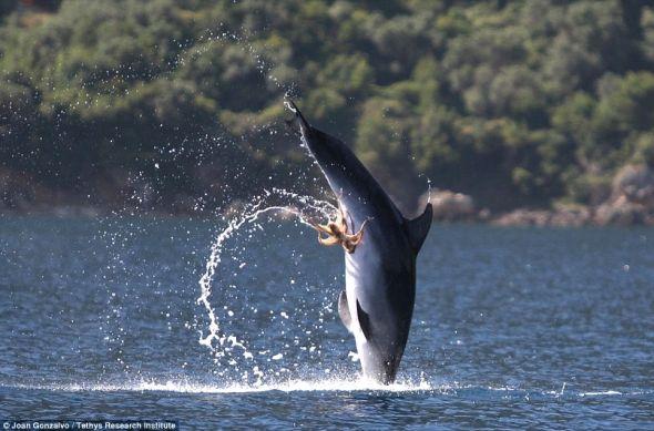 黏住你:据说,这只海豚进行两次更高的飞跃后才摆脱这只章鱼