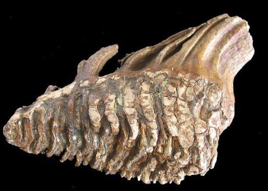 猛犸象骨骼化石。科学家表示多格兰一度生存着这种庞然大物