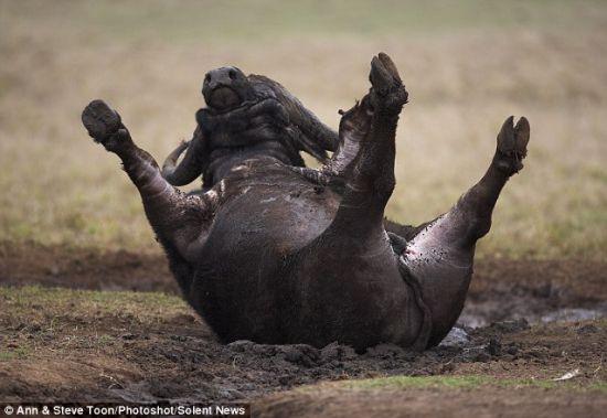 """泥中打滚:这头非洲水牛在帮它调节体温的泥中打滚。泥浆是大自然赐给非洲水牛、清除皮肤杂质的""""洁肤膏""""。"""