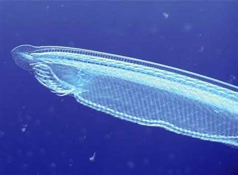 一条文昌鱼,它是人类和其它有脊椎动物的远古近亲。它似乎和一种早期无脊椎生物在它发生那两次严重的基因复制错误之前的状态相当相似