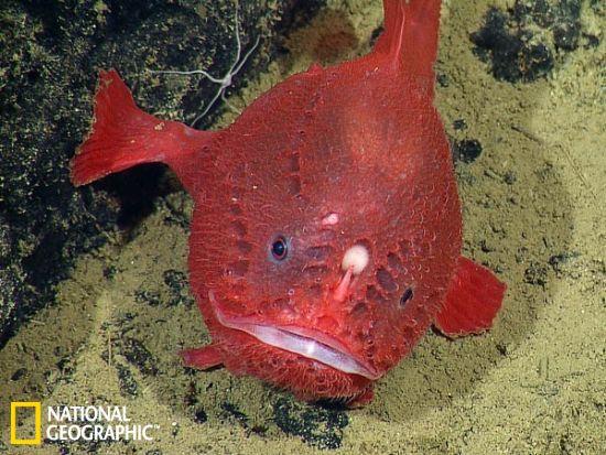 罕见的鮟鱇鱼