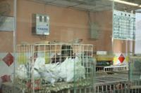 对鸡舍实行气味监测