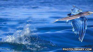飞鱼现象。