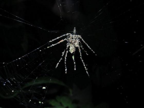 """蛛网上的蜘蛛形圈套,上方的蜘蛛""""建造师""""体型小得多。据推测,这种蜘蛛可能是Cyclosa属的新物种。"""
