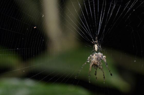 新种蜘蛛及其建造的圈套