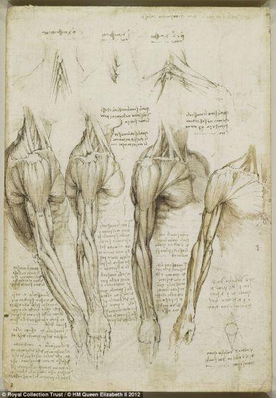 肩部、手臂和颈部肌肉,创作于1510年至1511年之间。达芬奇的很多人体解剖素描年代可追溯到1510年到1511年,当时他与解剖学教授马肯托尼欧-德拉-托莱合作,在帕维亚大学医学院解剖了大约20具尸体