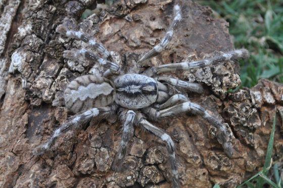 另一种同属的蜘蛛:P. rajaei