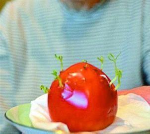嫩芽从番茄果实中抽发出来