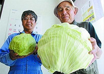巨型卷心菜是普通卷心菜的四倍大