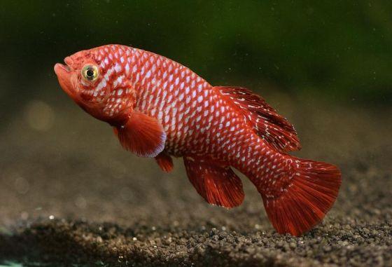 雄性的假鳃�。这种体型娇小的非洲鱼类生活在由季节性降雨形成的临时水坑中,因此它们必须以极快的速度生长和繁殖,赶在水坑晒干之前产下鱼卵。