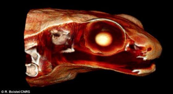 """在这幅图中,我们可以看到加德纳蛙嘴巴和内耳之间的组织和少量组织层的厚度减少。博斯特博士说:""""口腔和骨传导的结合使没有中耳的加德纳蛙有效感知声音。"""
