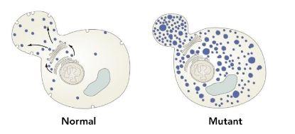 Randy W. Schekman发现基因控制下的蛋白质在这种囊泡运输机制中起到重要作用。正如这里的图上所展示的那样,通过对比正常酵母菌细胞(左)和转运机制缺陷的细胞(右),他成功识别出操控这一转运过程的基因。