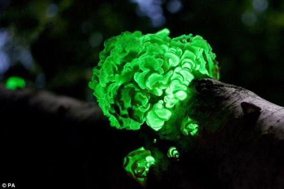 负责伦敦花园桥项目的英国奥雅纳工程与设计咨询公司的专家说,通过把生物性发光基因拼接到树干和树枝中,树木也可能在黑暗中发光。