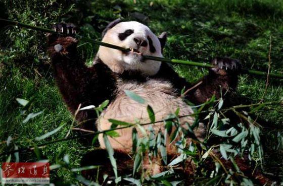 """资料图片:大熊猫""""圆仔""""在法国博瓦勒动物园内享用午餐."""