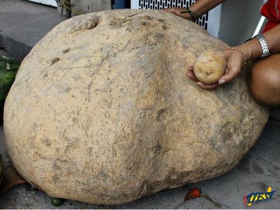 图为巨型马铃薯。