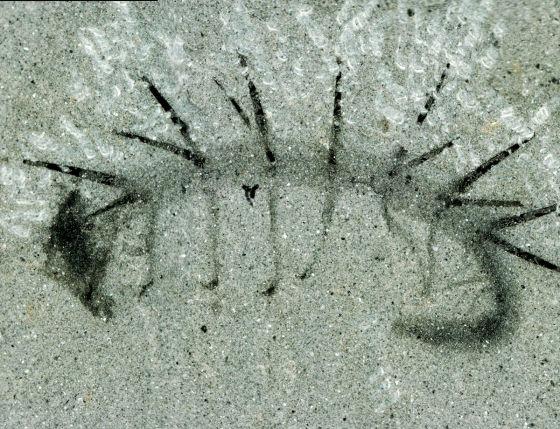 怪诞虫化石