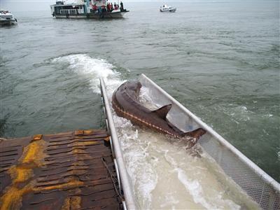 科研人员放流捕捞的野生中华鲟。资料图片