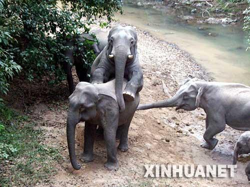 组图:大象的洞房花烛