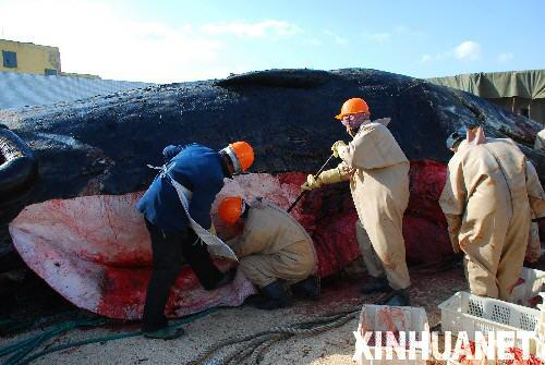 专家解剖死亡巨鲸制标本(组图)